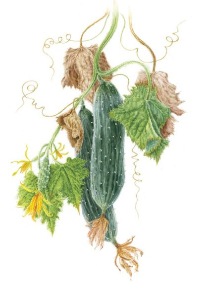Diane Marshall DipSBA Course 11 Part 3 Cucumber