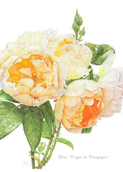 Janie Pirie - Rosa 'Compte de Champagne'