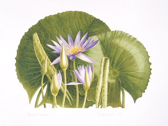 Pandora-Sellars - Blue Waterlily