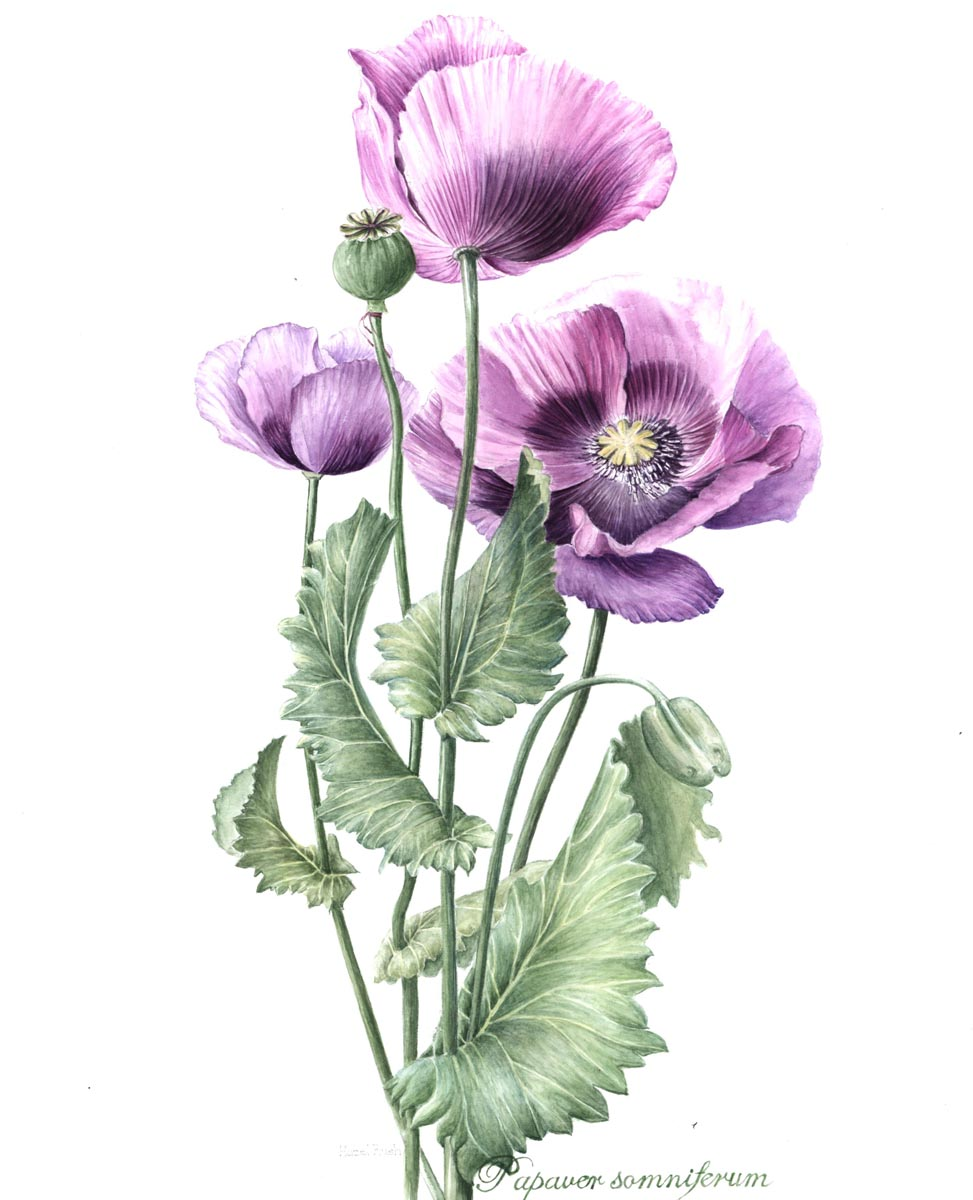 Hazel rush the society of botanical artists for Botanic fleurs artificielles